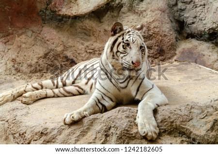 White Bengal Tiger resting on rock #1242182605