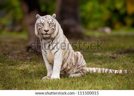 White Bengal tiger sitting in field - stock photo