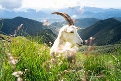 White billy goat with long horns eats mountain herbs on a hiking trail to Monte Tamaro in Switzerland with light cloud cover and sunshine with mountain peaks in the background.