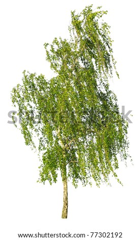 white birch isolated on a white background