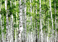 White birch trees in the forest in summer
