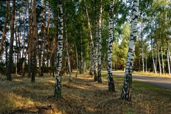 White birch trees with beautiful birch bark in a birch grove in the rays of a summer sunset.