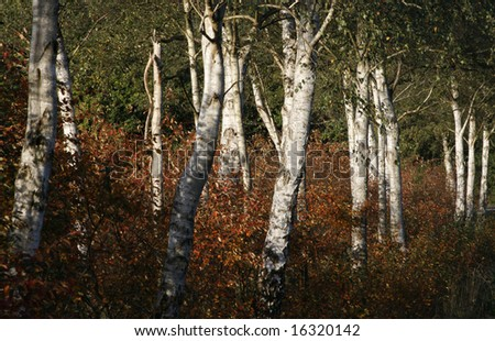 White birch with shrubs in autum colours.
