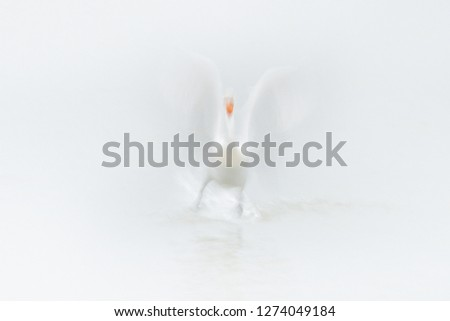 Stock Photo White bird, art in nature. Dalmatian pelican, Pelecanus crispus, in Lake Kerkini, Greece. Pelican with open wing, hunting animal. Wildlife scene from Europe nature. Bird in white, wings move blur.