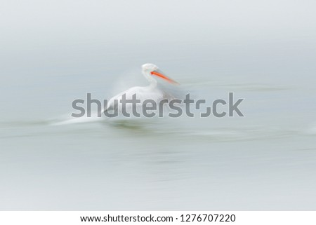 Stock Photo White bird, art in nature. Dalmatian pelican, Pelecanus crispus, in Lake Kerkini, Greece. Pelican with open wing, hunting animal. Wildlife scene from Europe nature. Bird in white, wings move.
