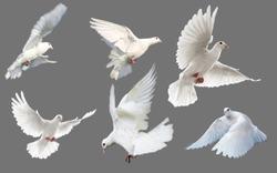 White bird flying gray background