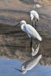 white bird  Of Florida Herons