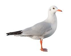 white bird seagull isolated on white