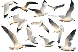 white birds ( Gull ) set. isolated on white