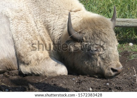 White Bison on Rafter Six Ranch, Exshaw, Alberta, Canada