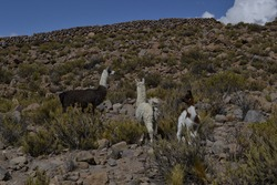 White, black and brown llamas, typical animal of Andes and South America in the wild of a altiplano near a green mountain with grass and bushes around
