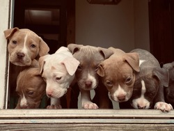 white black brown brindle pitbull puppies and adult pitbull in backyard