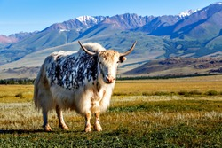 White & black yak in alpine mountains. Himalayan big yak in beautiful landscape. Hairy cattle cow wild animal in nature. Sunny winter day, yak face - wildlife concept. Farm animal in Nepal & Tibet