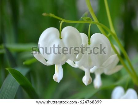 White Bleeding Heart Flower Ez Canvas
