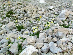 White blooming  alpine poppy or dwarf poppy (Papaver alpinum) flowers growing on a rocky terrain in Triglav national park and Julian alps, Slovenia