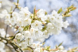 White blooming cherry tree. Natural close up photography. Spring theme.