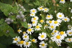 White blooming daisies in dense thickets of grass. Photo of daisies on a clear summer day, top view. Chamomile and burdock with dense green foliage grow nearby.