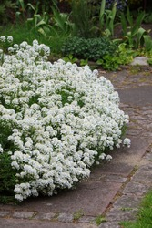 White blooming flowers of the Evergreen Candytuft (Iberis sempervirens)