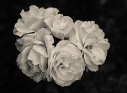 White Blooming Roses On Black Background