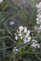 White blooming terminal inflorescences of Hairy Yerba Santa, Eriodictyon Trichocalyx, Boraginaceae, native hermaphroditic perennial shrub in the San Bernardino Mountains, Transverse Ranges, Summer.