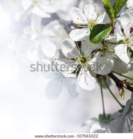White blossom of apple trees in springtime