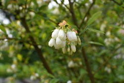 White blueberry buds on a bush. Blueberry bud twig. White flowers. The bush grows in the garden.Close - up of a flower. Blueberry blossom. The blueberry plant has bloomed.