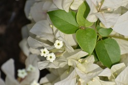 White bougainvillea flower is a beautiful garden showoff flower. The actual flower of the plant is small and generally white, but each cluster of three flowers is surrounded by three or six bracts.