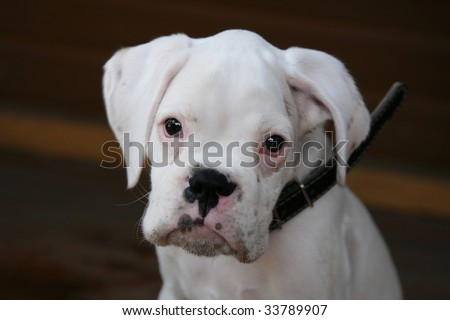 white boxer puppy - stock photo