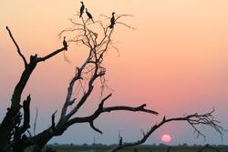 White breasted cormorant, Chobe National Park, Botswana
