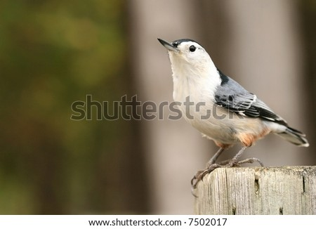 White-breasted nuthatch. Canada.