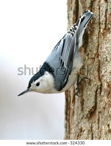 White Breasted Nuthatch - Sitta Canadensis