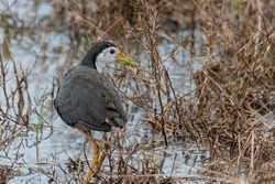 White Breasted Waterhen bird on Paddy filed at Sabah, Borneo
