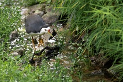 white breasted waterhen following the flow of a stream at Jurong Lake Gardens