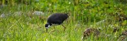 white breasted waterhen hunting in a meadow of grass at Jurong Lake Gardens