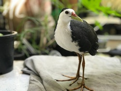 White-breasted waterhen, natural birds come to ask for food in the house
