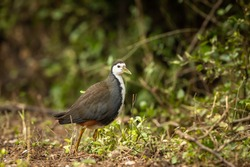 White breasted waterhen or Amaurornis phoenicurus portrait at keoladeo ghana national park or bharatpur bird sanctuary rajasthan india