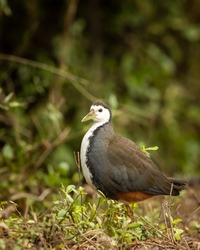 White breasted waterhen or Amaurornis phoenicurus portrait at keoladeo national park or bharatpur bird sanctuary rajasthan india