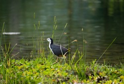 white breasted waterhen taking a stroll by the lake at Jurong Lake Gardens