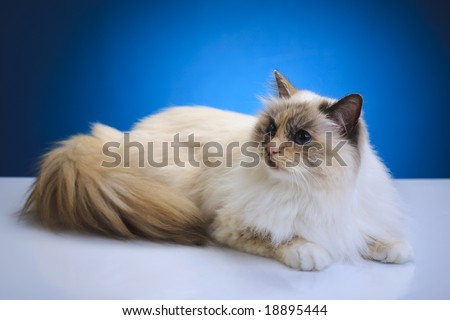 White brown cat on a white table