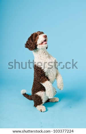 White brown spanish waterdog isolated on light blue background. Perro de Agua Espanol.