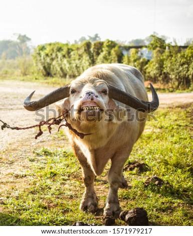 white buffalo in farm Thailand