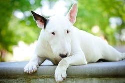 white bull terrier resting on concrete