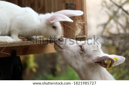 White bunny rabbit and goat kid touching noses Сток-фото ©