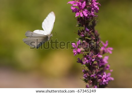 white butterfly approaching a flower
