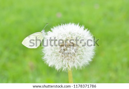 Free photos white fluffy flowers in patch of grass avopix white butterfly cabbage patch sits on a fluffy dandelion with dew drops on a blurred floral mightylinksfo