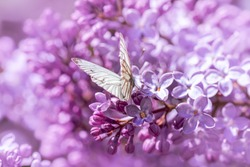 White butterfly in purple lilac flowers. Soft tones, soft focus, blur and bokeh