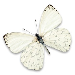 white butterfly isolated on white background