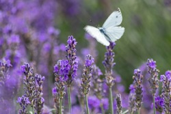 White butterfly on purple lavender shows a color contrast with violet and white wings of tenderness in spring and summer representing lightness, lifetime and a light summer dream with a nice fragrance