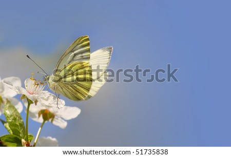 White butterfly on wild cherry blossom. Close up with shallow dof.