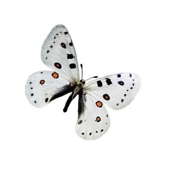 White butterfly with black and orange dots isolated on a white background with outstretched wings. A type of flying insects that personify summer and the beauty of nature.